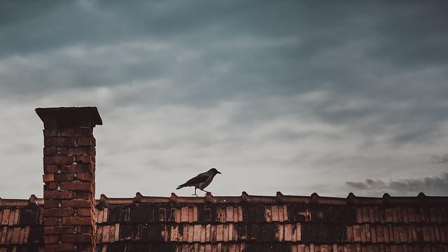 pic pigeon1